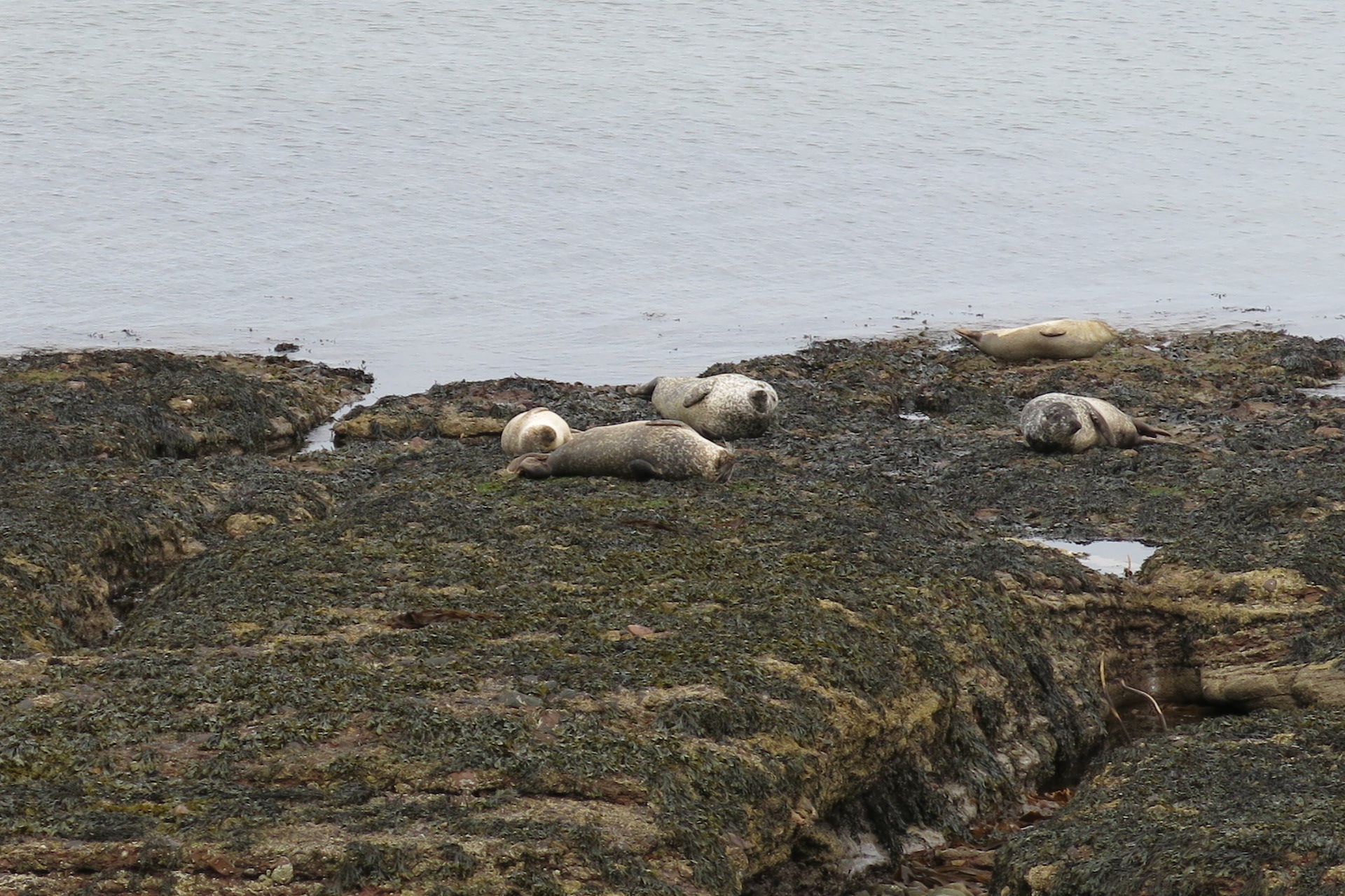 Seals at Portgordon